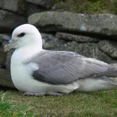 Northern fulmar. Pale morph adult, North Atlantic subspecies, at breeding colony. Shetland Islands, United Kingdom, June 2011. Image © Tony Crocker by Tony Crocker