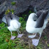 White-capped mollymawk. Pair displaying. South West Cape, Auckland Islands, January 2006. Image © Graeme Taylor by Graeme Taylor