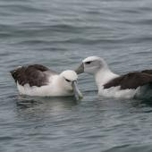 White-capped mollymawk. Adult pair at sea. Taranaki, September 2015. Image © Leon Berard by Leon Berard