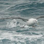 White-capped mollymawk. Adult taking off from sea. Cook Strait, August 2012. Image © Alan Tennyson by Alan Tennyson