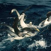 Chatham Island mollymawk. Adult (with fully yellow bill) competing for fish scraps with Salvin's mollymawks and one Buller's mollymawk (right). Snares Islands, February 1983. Image © Colin Miskelly by Colin Miskelly