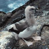 Chatham Island mollymawk. Chick close to fledging. The Pyramid, Chatham Islands, February 1993. Image © Graeme Taylor by Graeme Taylor