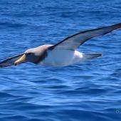 Chatham Island mollymawk. Adult in flight. Tutukaka Pelagic out past Poor Knights Islands, October 2020. Image © Scott Brooks (ourspot) by Scott Brooks