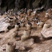 Chatham Island mollymawk. Adults and chicks on tall nest pedestals in 'the cave'. The Pyramid,  Chatham Islands, December 2009. Image © Mark Fraser by Mark Fraser