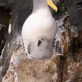 Chatham Island mollymawk. Adult and chick on a tall nest pedestal in 'the cave'. The Pyramid,  Chatham Islands, December 2009. Image © Mark Fraser by Mark Fraser