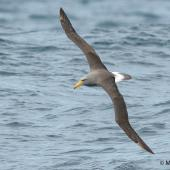 Chatham Island mollymawk. Adult in flight. At sea off Dunedin, October 2016. Image © Matthias Dehling by Matthias Dehling