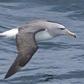 Salvin's mollymawk. Adult in flight. Tasman Sea off Fiordland Coast, November 2011. Image © Steve Attwood by Steve Attwood http://stevex2.wordpress.com/