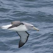 Salvin's mollymawk. Side view of adult in flight. Tasman Sea off Fiordland Coast, November 2011. Image © Steve Attwood by Steve Attwood http://stevex2.wordpress.com/