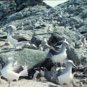 Salvin's mollymawk. Breeding colony. Toru Islet, Western Chain, Snares Islands, December 1984. Image © Colin Miskelly by Colin Miskelly