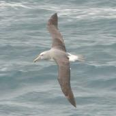Salvin's mollymawk. Dorsal view of adult in flight. Cook Strait, August 2012. Image © Alan Tennyson by Alan Tennyson Alan Tennyson