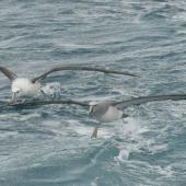 Salvin's mollymawk. Adult taking off (front) with immature white-capped mollymawk. Cook Strait, August 2012. Image © Alan Tennyson by Alan Tennyson