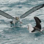 Salvin's mollymawk. Adult (left) on water showing 'armpits' plus black-browed mollymawk. Cook Strait, August 2012. Image © Alan Tennyson by Alan Tennyson
