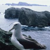 Salvin's mollymawk. Adult standing. Toru Islet, Snares Islands, January 1986. Image © Alan Tennyson by Alan Tennyson