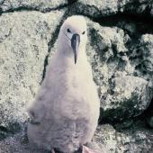 Salvin's mollymawk. Downy chick. Toru Islet, Snares Islands, January 1986. Image © Alan Tennyson by Alan Tennyson Alan Tennyson