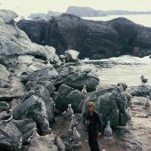 Salvin's mollymawk. Downy chicks on nests. Toru Islet, Snares Islands, January 1986. Image © Alan Tennyson by Alan Tennyson Alan Tennyson