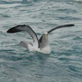 Salvin's mollymawk. Adult on water showing front view of head. Cook Strait, August 2012. Image © Alan Tennyson by Alan Tennyson