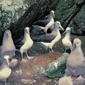 Salvin's mollymawk. Adults and chicks on breeding colony. Toru Islet, Snares Western Chain, January 1986. Image © Alan Tennyson by Alan Tennyson