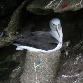 Salvin's mollymawk. Adult on pedestal nest. Toru Islet, Western Chain, Snares, October 2009. Image © Matt Charteris by Matt Charteris