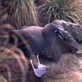 Sooty albatross. Adult. Antipodes Island, October 1995. Image © Terry Greene by Terry Greene