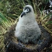 Light-mantled sooty albatross. Chick on nest . Adams Island, Auckland Islands, February 1966. Image © Department of Conservation ( image ref: 10038125 ) by John Kendrick Courtesy of Department of Conservation