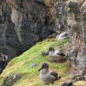 Light-mantled sooty albatross. Adults on breeding ledge. Enderby Island,  Auckland Islands, December 2005. Image © Department of Conservation ( image ref: 10060017 ) by Andrew Maloney Courtesy of Department of Conservation