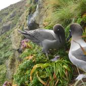 Light-mantled sooty albatross. Non-breeders courting at a potential nest site. Penguin Bay,  Campbell Island, January 2013. Image © Kyle Morrison by Kyle Morrison