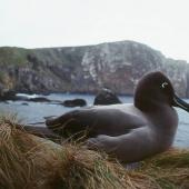 Light-mantled sooty albatross. Adult. Antipodes Island, October 1990. Image © Colin Miskelly by Colin Miskelly