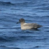 Light-mantled sooty albatross. Adult sitting on water. At sea 54 km east of Homewood, Wairarapa, June 2015. Image © Bridget Watt by Bridget Watt US NSF OCE-1355878
