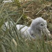 Southern giant petrel. Chick on nest. Prion Island,  South Georgia, January 2016. Image © Rebecca Bowater  by Rebecca Bowater FPSNZ AFIAP www.floraandfauna.co.nz
