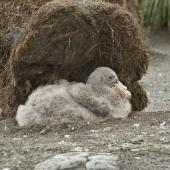 Southern giant petrel. Chick on nest. St Andrew Bay,  South Georgia, January 2016. Image © Rebecca Bowater  by Rebecca Bowater FPSNZ AFIAP www.floraandfauna.co.nz