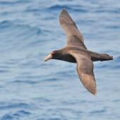 Southern giant petrel. Juvenile in flight. West of the Falkland Islands, December 2015. Image © Cyril Vathelet by Cyril Vathelet
