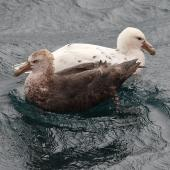 Southern giant petrel. Adult dark morph and white morph. Commonwealth Sea, Southern Indian Ocean, January 2016. Image © Sergey Golubev by Sergey Golubev