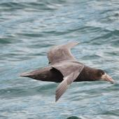 Southern giant petrel. Side view of an immature bird in flight. At sea, Near South Georgia, December 2015. Image © Cyril Vathelet by Cyril Vathelet