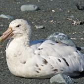 Southern giant petrel. White morph adult. Macquarie Island, February 2015. Image © Richard Smithers by Richard Smithers