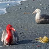 Southern giant petrel. Two dark morph adults on beach - one blood stained from feeding on dead elephant seal. Macquarie Island, February 2015. Image © Richard Smithers by Richard Smithers
