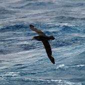Northern giant petrel. Adult in flight (dorsal). Drake Passage, December 2006. Image © Nigel Voaden by Nigel Voaden http://www.flickr.com/photos/nvoaden/