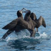 Northern giant petrel. Adults fighting. Off Kaikoura, June 2015. Image © Alan Tennyson by Alan Tennyson