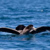 Northern giant petrel. Aggressive display. Kaikoura pelagic, November 2011. Image © Sonja Ross by Sonja Ross