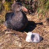 Northern giant petrel. Adult and chick. Antipodes Island, October 1995. Image © Terry Greene by Terry Greene