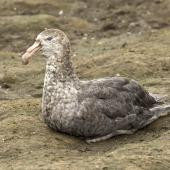 Northern giant petrel. Adult sitting. Salisbury Plain, South Georgia, January 2016. Image © Rebecca Bowater  by Rebecca Bowater FPSNZ AFIAP www.floraandfauna.co.nz