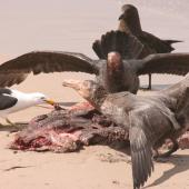Northern giant petrel. Adult aggressive display over dead sea lion with southern black-backed gull and southern skua in attendance. Enderby Island,  Auckland Islands, December 2006. Image © Andrew Maloney by Andrew Maloney