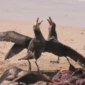 Northern giant petrel. Adults fighting over sea lion carcass. Enderby Island,  Auckland Islands, December 2006. Image © Andrew Maloney by Andrew Maloney