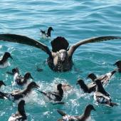 Northern giant petrel. Competing for food with a flock of Cape petrels. Kaikoura pelagic, September 2011. Image © Joke Baars by Joke Baars