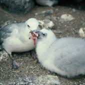 Antarctic fulmar. Adult feeding chick. Hop Island, Prydz Bay, Antarctica, February 1990. Image © Colin Miskelly by Colin Miskelly