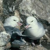 Antarctic fulmar. Pair at nest. Hop Island, Prydz Bay, Antarctica, December 1989. Image © Colin Miskelly by Colin Miskelly