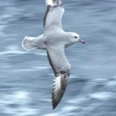 Antarctic fulmar. Bird in flight, dorsal surface. Drake Passage, November 2008. Image © Tony Crocker by Tony Crocker