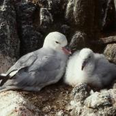Antarctic fulmar. Adult and large chick at nest. Hop Island, Prydz Bay, Antarctica, February 1990. Image © Colin Miskelly by Colin Miskelly