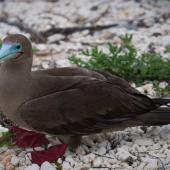 Red-footed booby. Adult (brown morph). Darwin Bay Beach, Genovesa, Galapagos Islands, June 2014. Image © Judi Lapsley Miller by Judi Lapsley Miller Email | Portfolio | Flickr