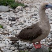 Red-footed booby. Adult (intermediate morph). Darwin Bay Beach, Genovesa, Galapagos Islands, June 2014. Image © Judi Lapsley Miller by Judi Lapsley Miller Email | Portfolio | Flickr