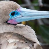 Red-footed booby. Head of adult (brown morph). Darwin Bay Beach, Genovesa, Galapagos Islands, June 2014. Image © Judi Lapsley Miller by Judi Lapsley Miller Email | Portfolio | Flickr